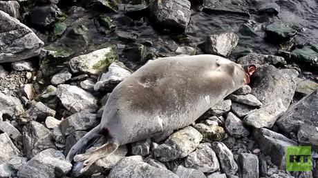 Pourquoi 130 phoques ont-ils été retrouvés morts sur les rives du lac Baïkal, en Russie ? (VIDEO)