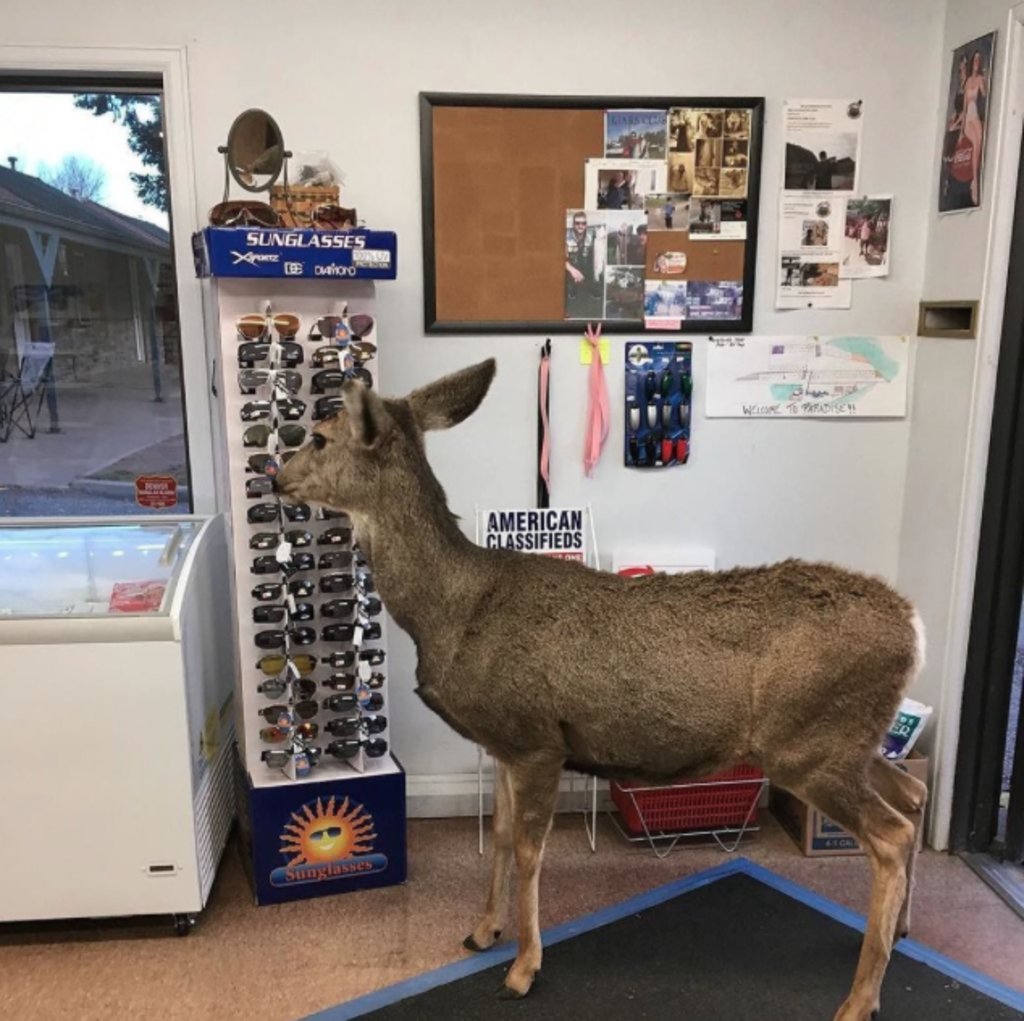 Colorado : une biche invite toute sa famille à faire du shopping (PHOTOS)
