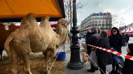 Passants face aux chameaux amenés par les cirques le 17 janvier 2018.