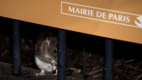 Les rats vont-ils submerger Paris ? Les éboueurs interpellent la mairie (VIDEO)