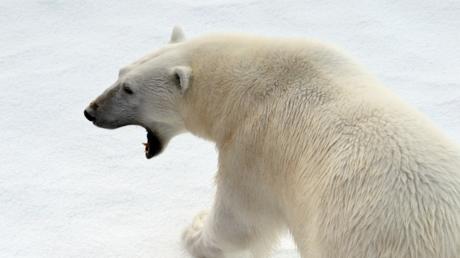 Tout pour la science : une caméra attachée à une ourse polaire