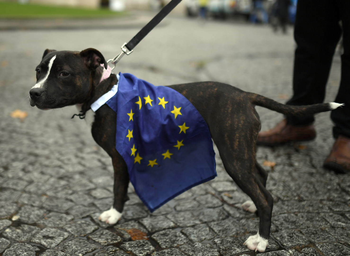 Plus dociles que les humains ? Des chiens défilent contre le Brexit (IMAGES)