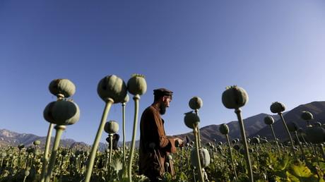 Un Afghan travaille dans un champ de pavot à opium dans la province de Nangarhar, en Afghanistan.