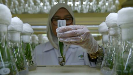 Un agent du laboratoire de recherche sur l'huile de palme Palm Oil Board (MPOB), à Bangi, dans la banlieue de Kuala Lumpur en Malaysie manipule un tube à essai contenant un spécimen de semis de palmier nain (illustration, photo prise en décembre 2018).