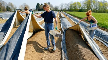 Des étudiants aident un fermier à récolter des asperges à Lohmar (Rhénanie-du-Nord-Westphalie) en Allemagne, le 9 avril 2020.