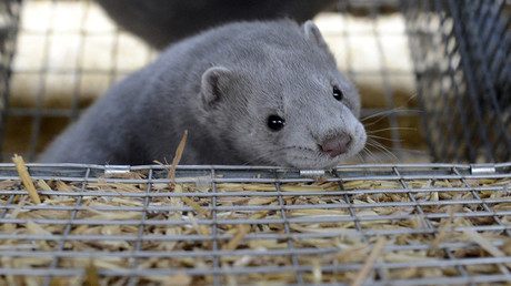 Un vison d'élevage, mammifère particulièrement prisé pour sa fourrure (image d'illustration).