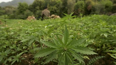 Un agriculteur garde sa plantation de cannabis près de Chefchaouen, le 27 mars 2008. (illustration)