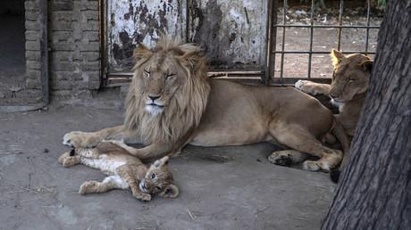 Des lions en cage au Dinder National Park, un zoo soudanais, le 5 avril 2021 (image d'illustration).