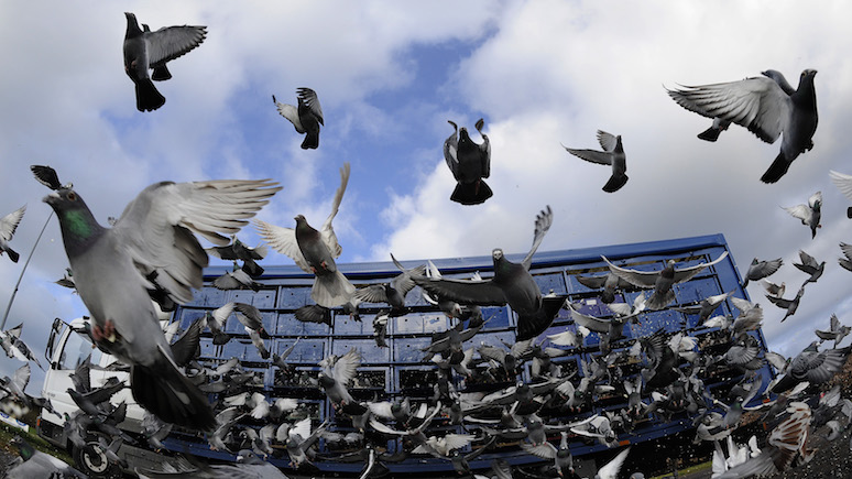 Guardian: «роковая ошибка» — крупнейшая гонка спортивных голубей в мире омрачена гибелью более десятка птиц