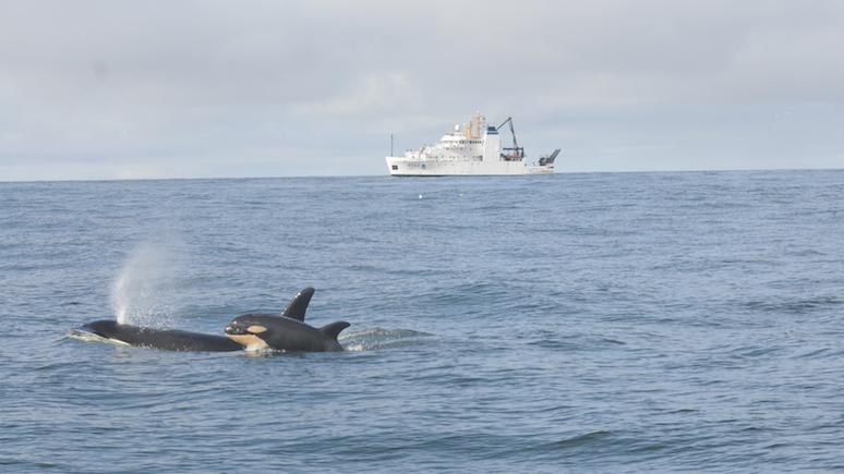 Guardian: учёные озадачены «организованными» атаками косаток на лодки у берегов Испании