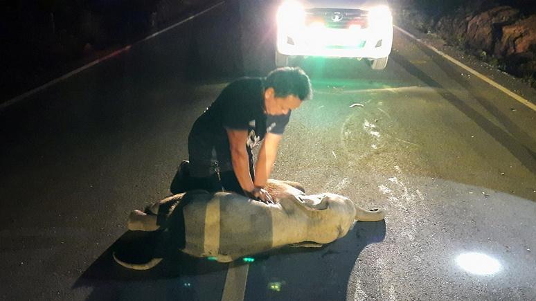 DT: необычный пациент — спасателю в Таиланде пришлось делать массаж сердца слонёнку, сбитому мотоциклистом