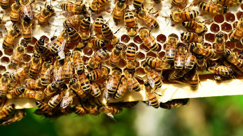 Не всякая пчела долетит до Британии — Guardian о бизнесмене, который рискует потерять 15 миллионов пчёл после брексита
