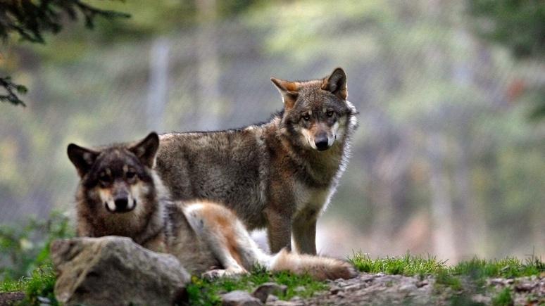 Le Figaro: возвращение легенды — на западе Франции спустя век снова обнаружили волков