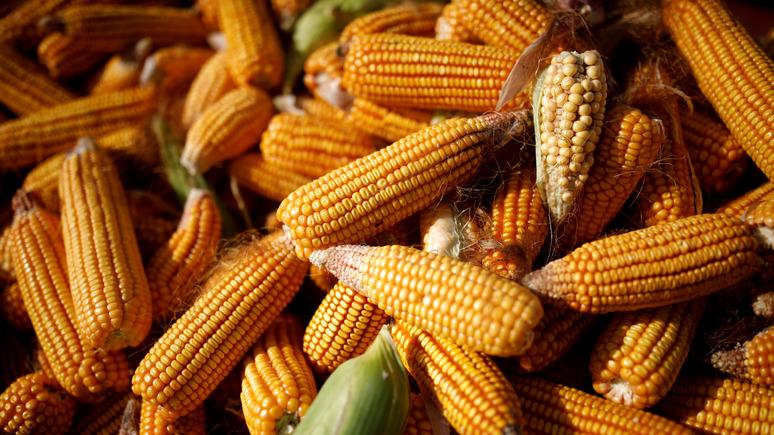 24 канал: США обгоняют Украину по экспорту кукурузы в Китай