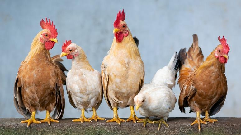Insider: пандемия стимулирует аренду кур в качестве домашних питомцев