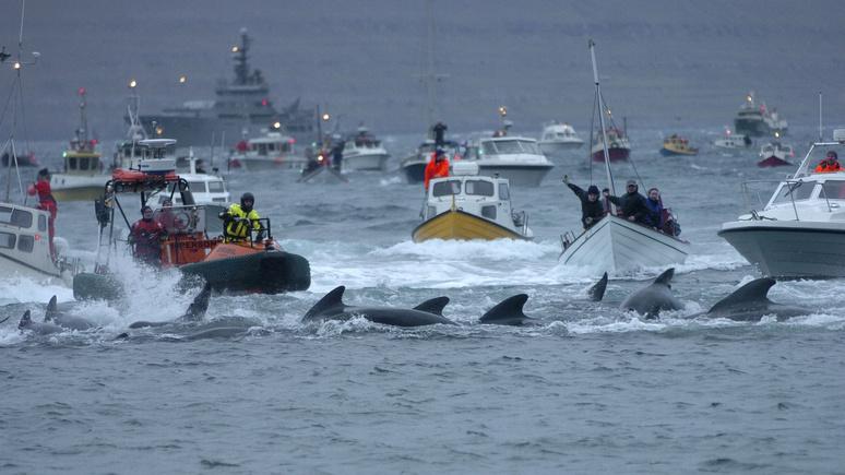 Das Erste: «скотобойня под открытым небом» — охота на дельфинов у Фарерских островов вызвала критику и ужас