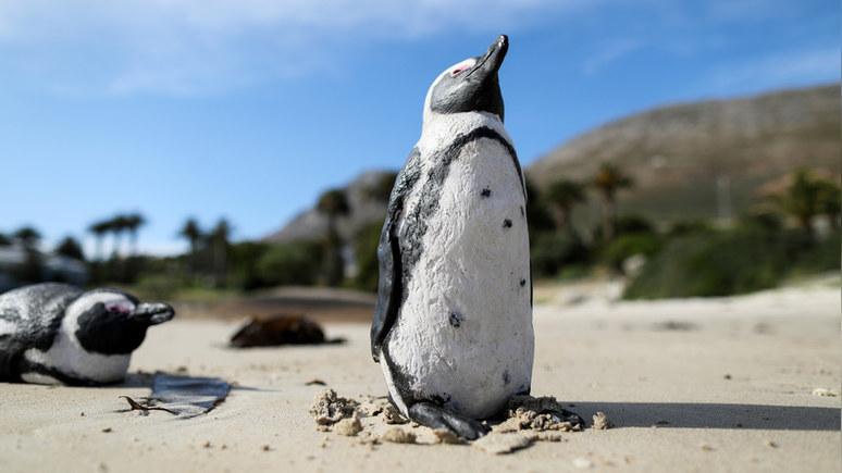 Times: разъярённые пчёлы насмерть искусали десятки редких пингвинов в ЮАР