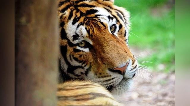 Амурским тиграм грозит гибель от «собачьего» вируса