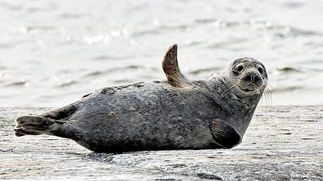 Экологи спасают тюленей от «Северного потока»