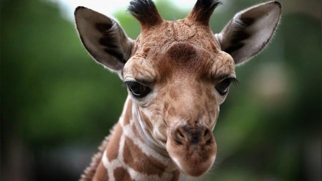 The National Interest: Из жирафа Мариуса вышел бы отличный диссидент