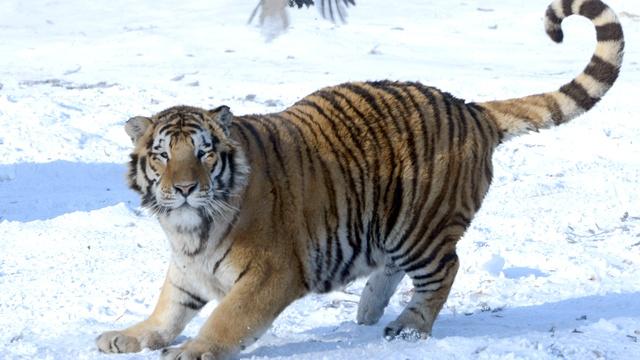 Xinhua: «Путинский» тигр Кузя ушел из Китая, но «обещал» вернуться