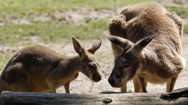Петербургские биологи открыли, что кенгуру - левши