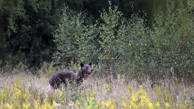 Sankei: Страдания медведя тронули Курилы больше, чем старания Медведева