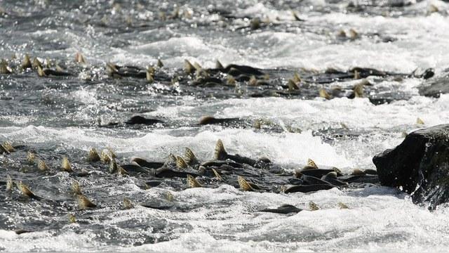 Times: Британский лосось в опасности из-за «понаплывшей» русской горбуши