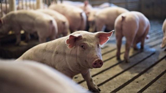 Франция надеется вернуть свою свинину на российский рынок