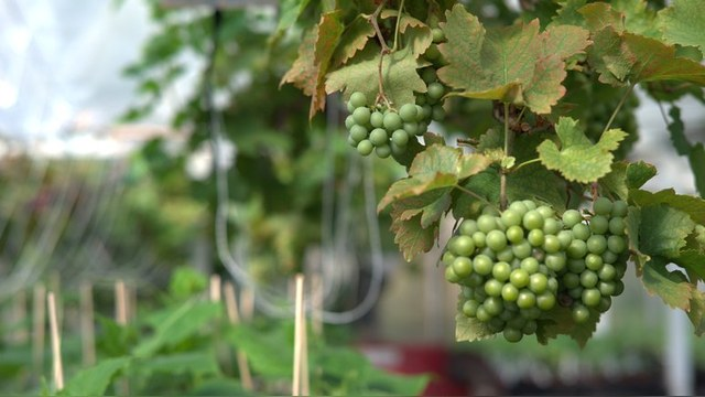 Daily Mail: Вино из магаданского винограда назовут «Шато ГУЛАГ»