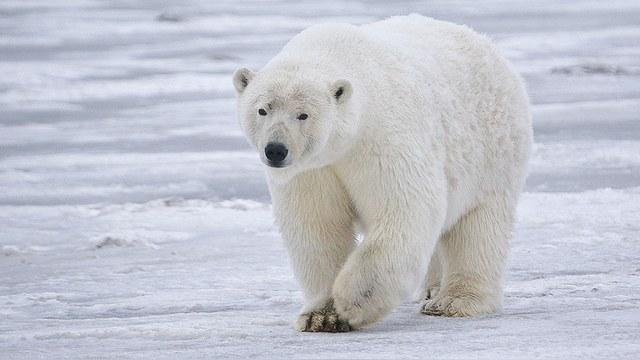 Huffington Post: Лишившись льда, белые медведи придут к людям