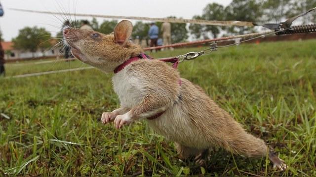 France Inter: Российские крысы-киборги дадут бой терроризму