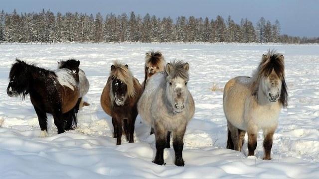 El Mundo: Миниатюрные якутские лошади выдерживают даже лютые морозы