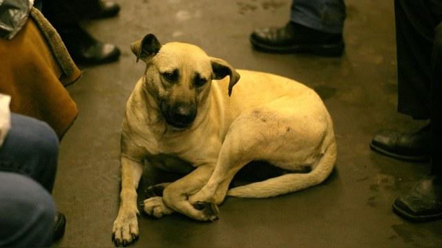 Daily Mail: Московские дворняги освоили метро для поездок по собачьим делам