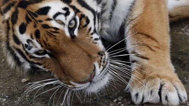 L'Express: Дальневосточный «кошкопровод» спасет тигров от машин