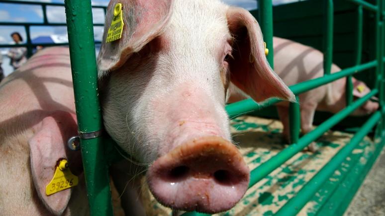 WSJ: ВТО признала российское свиное эмбарго неоправданно жестким