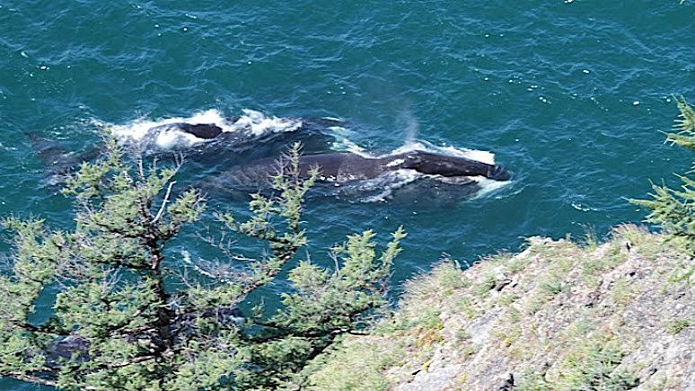 ERR: застрявший в устье реки гигантский кит с приливом вернулся в Охотское море