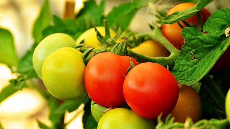 Milliyet: символом российско-турецких отношений стали помидоры