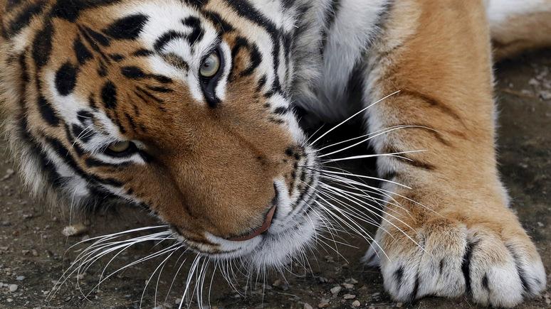 Denver Post: в США усыпили привезённого из России амурского тигра
