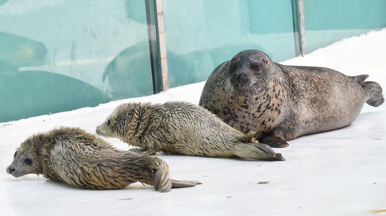 Hufvudstadsbladet рассказала, как шведы тренировали тюленей для слежки за советскими подлодками