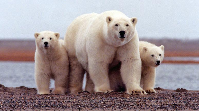 Guardian: от климатического кризиса «жарко» не только медведям, но и человеку