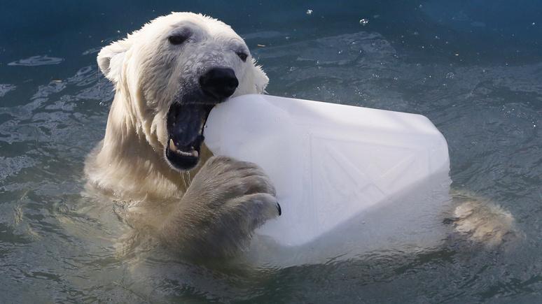 Deutschlandfunk: российской Арктике грозит вторжение голодных медведей