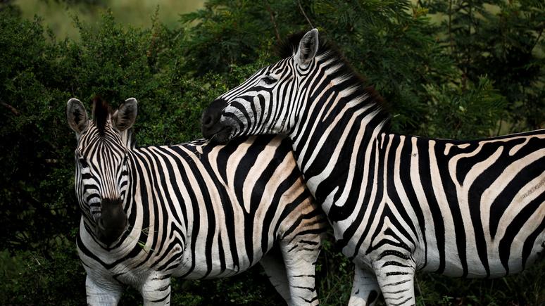 Daily Telegraph: учёные выяснили, почему зебры полосатые