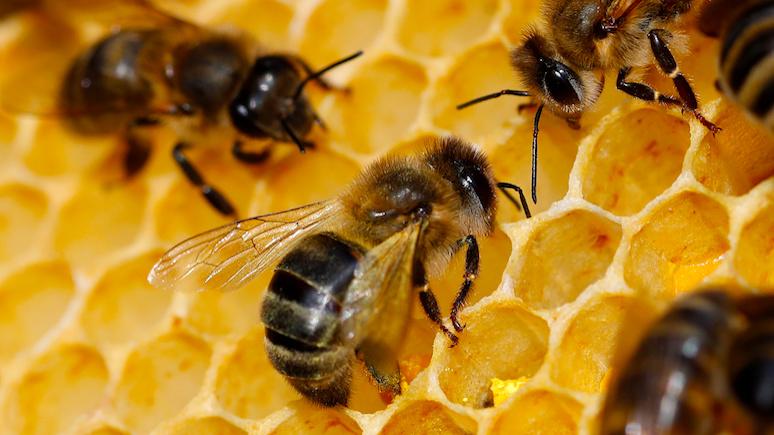 GW: пчелиная напасть — в России выясняют причины странного мора среди медоносных насекомых