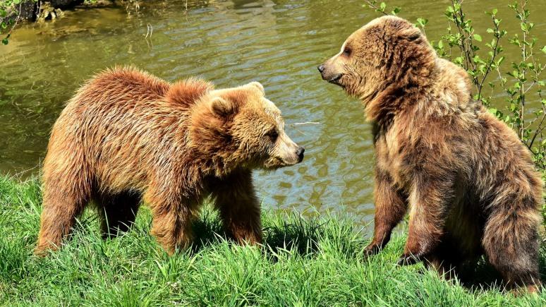 ERR: эстонские охотники просят досрочно разрешить отстрел медведей из России
