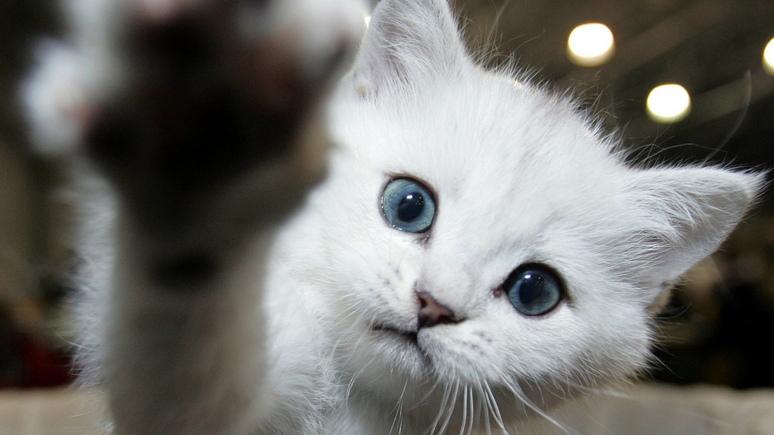 Huffington Post: в Нью-Йорке запретили удалять кошкам когти