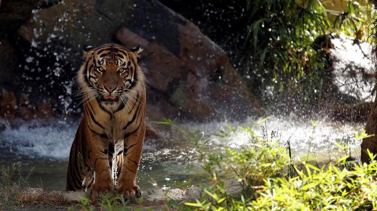 Times: тигры и львы помогут Китаю спасти институт семьи