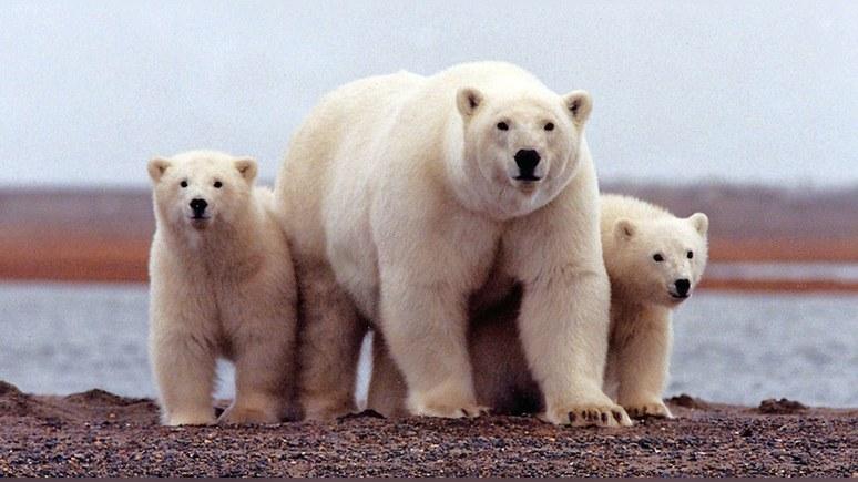 Guardian: Трамп разрешил добычу нефти в заповеднике белых медведей на Аляске