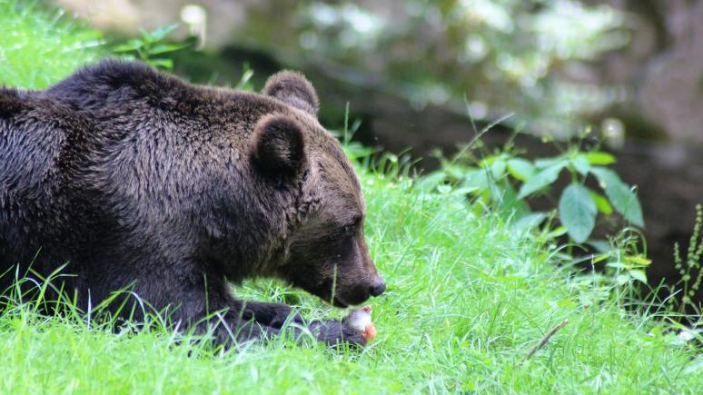ERR: «нарушителя» эстонской границы медведя Прошу вскоре вернут в Россию