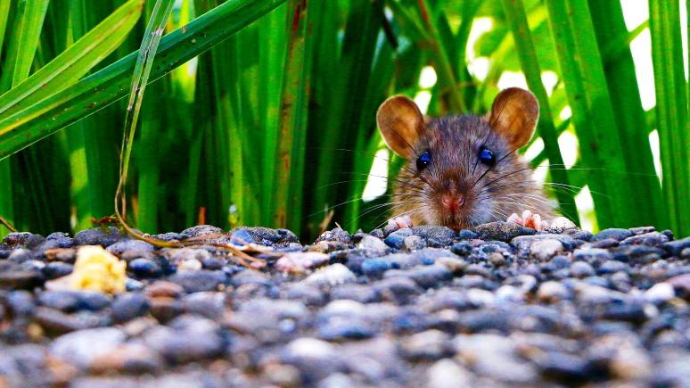 ERR: крысы-вредители вывели из строя эстонский сайт госуслуг